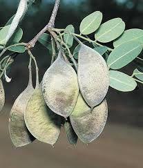 Garapa (Apuleia leiocarpa): 5 Sementes