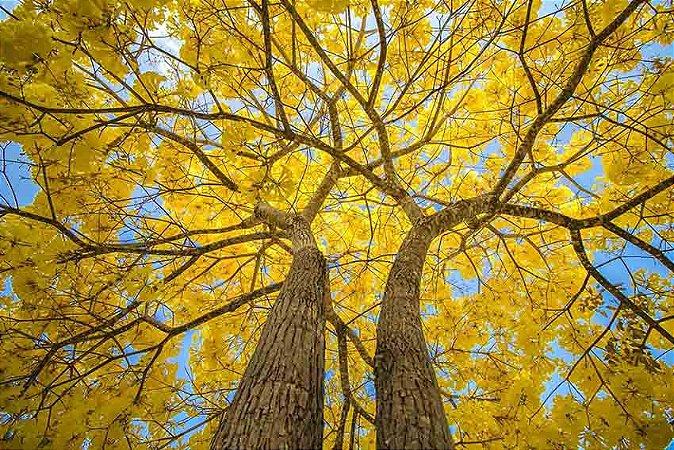 Ipê Amarelo (Handroanthus serratifolius): 10 Sementes