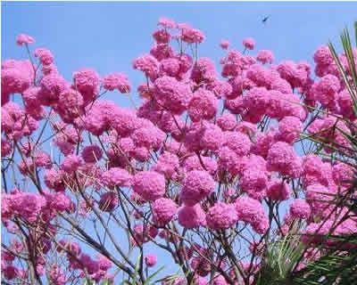 Ipê Roxo (Handroanthus impetiginosus): 10 Sementes