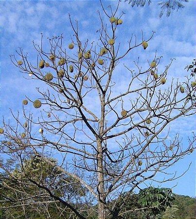 Ipê Tabaco (Handroanthus Crizochrita): 5 Sementes