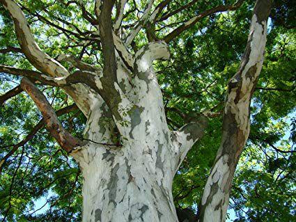 Pau Ferro (Caesalpinia ferrea): 5 Sementes