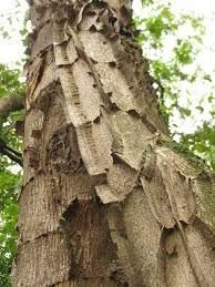 Pau jacaré (Piptadenia gonoacantha): 5 Sementes