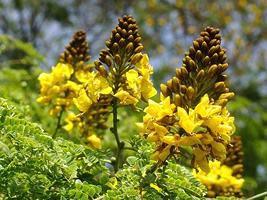 Sibipiruna (Casealpinia peltophoroides) – 5 Sementes