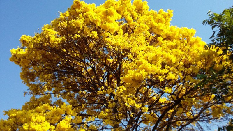 Ipê Amarelo do Cerrado - Tabebuia ochracea - 5 Sementes