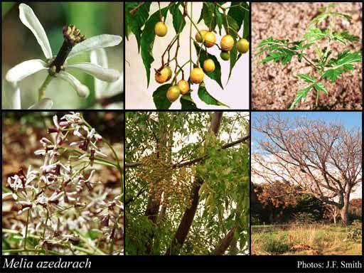 Cinamomo Gigante - Melia azedarach L. - 3 Sementes