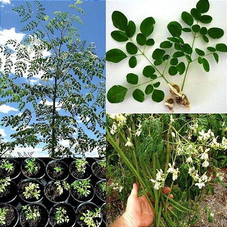 Moringa Oleifera - Moringa oleifera - 3 Sementes