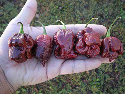 Trinidad Scorpion Chocolate: 10 Sementes