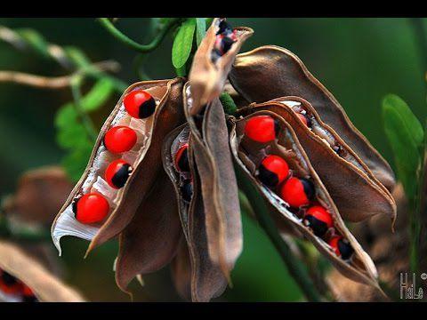 Olho de Cabra - Ormosia arborea - 3 Sementes