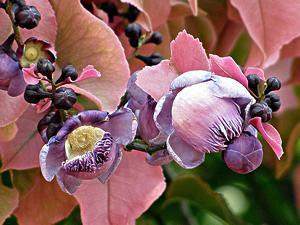 Sapucaia - Lecythis pisonis - 2 Sementes