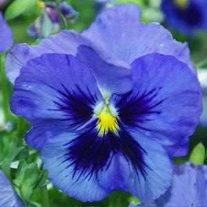 Amor Perfeito Azul Gigante Suíço: 15 Sementes