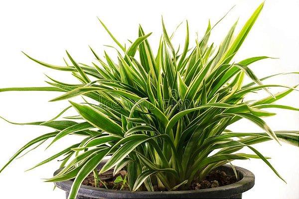 dracena plantas home office