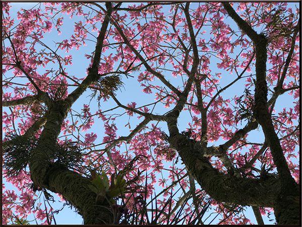 Cerejeira I