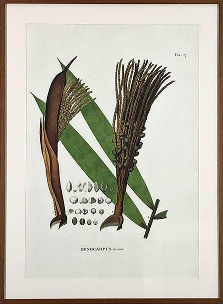 Planta VI Oenocarptus