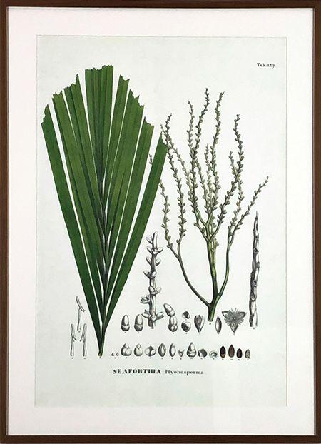 Planta VII - Seaforthia