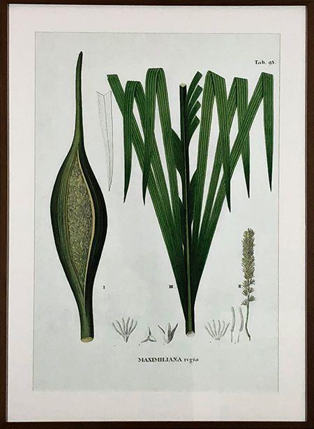 Planta V - Maximiliana