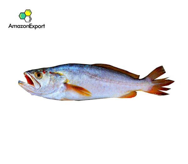 PESCADA GÓ (Macrodon ancylodon) - Amazon Export