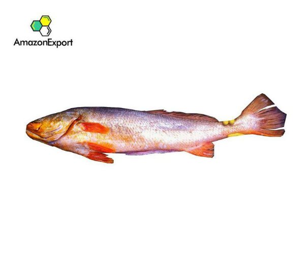 YELLOW CROAKER (Cynoscion acoupa) - Amazon Export