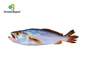 WEAKFISH BANGAMARY (Macrodon ancylodon) - Amazon Export