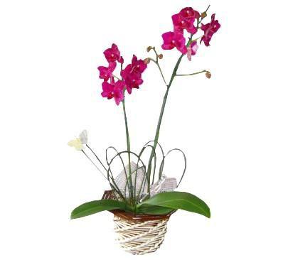 Orquídea Phalaenopsis Pink