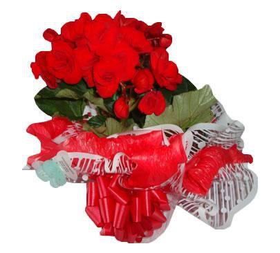 Vaso de Begônia Vermelha