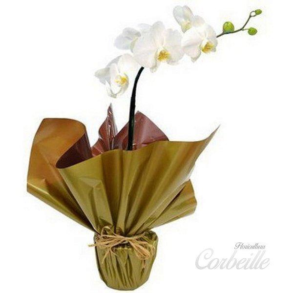 Orquídea branca Phalaenopsis plantadas