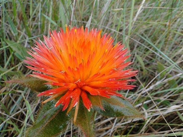 Para-Tudo (Flor do Cerrado) em Pó - BELEZA DA TERRA