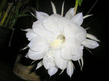 Flor da noite em Pó - BELEZA DA TERRA