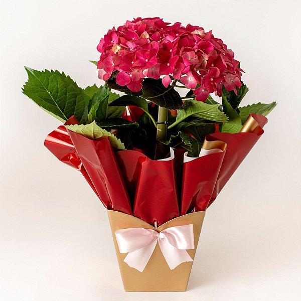 Hortênsia Rosa Plantada