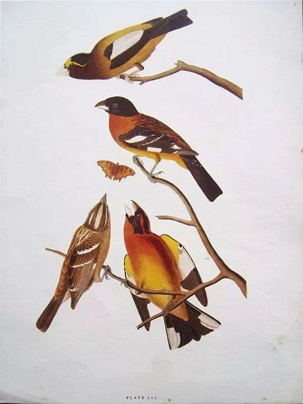 John Gould - Arte em Gravura, Pasta com 4 Litos, Exotics Birds In Color, Pássaros Exóticos