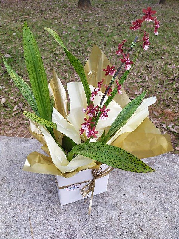 Orquídea Chocolate