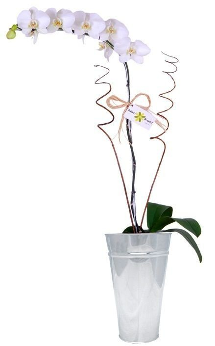 Orquídea Phalaenópolis Vaso de Inox