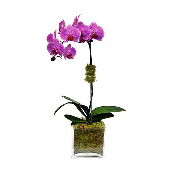 Orquidea Phalaenopsis Lilás