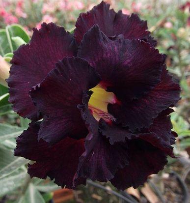Muda de Rosa do Deserto de enxerto com flor dobrada na cor Roxa - LM-3