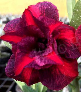 Muda de Rosa do Deserto de enxerto com flor dobrada na cor Matizada - Ìndigo Dream