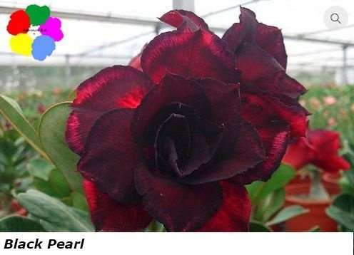 Flor Dobrada - Kit com 3 sementes - Black Pearl - Chang Ping
