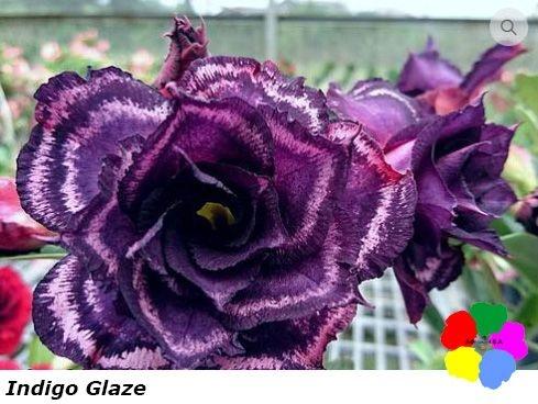 Flor Tripla - Kit com 3 sementes - Indigo Glaze - Chang Ping