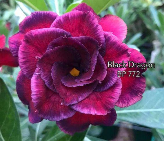 Enxerto com flor Tripla na cor Rosa Matizada BP 772 Black Dragon