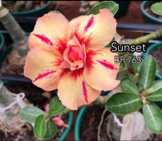 Enxerto com flor Dobradas na cor Rosa Matizada BP 763 Sunset