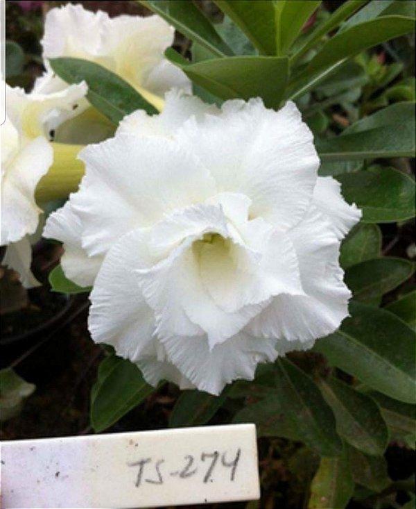 Muda de Rosa do Deserto de enxerto com flor tripla na cor Branca - TS-274