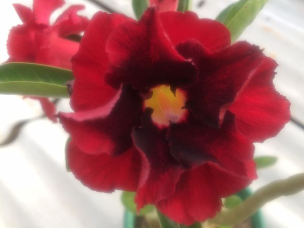 Enxerto de uma cor com flor Dobrada - EV289