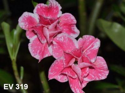 Enxerto de uma cor com flor Dobrada - EV319