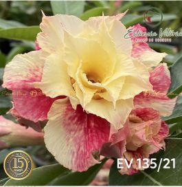Muda Rosa do Deserto de enxerto com flor tripla na cor amarela matizada - EV135/21