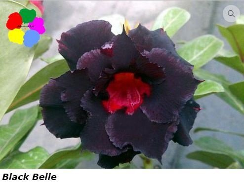 Flor Tripla - Kit com 3 sementes - Black Belle - Chang Ping