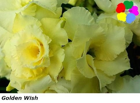 Flor Tripla - Kit com 3 sementes - Golden Wish - Chang Ping