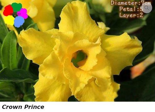 Flor Dobrada - Kit com 3 sementes - Crown Prince - Chang Ping