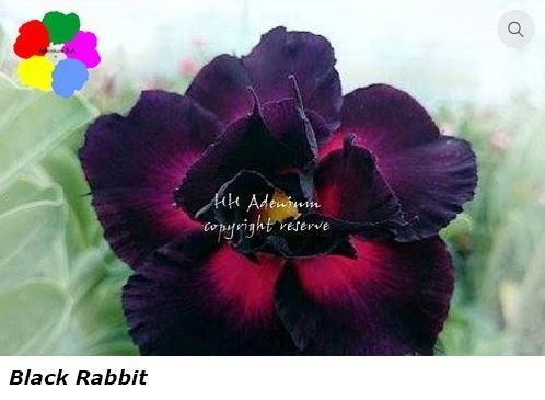 Flor Dobrada - Kit com 3 sementes - Black Rabbit - Chang Ping