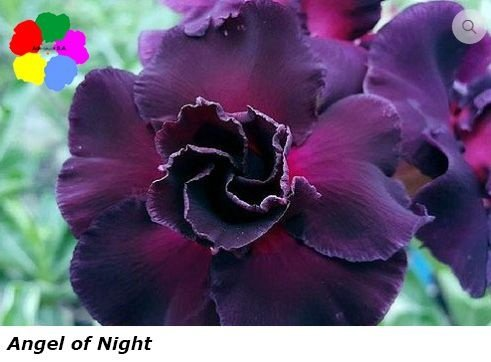 Flor Dobrada - Kit com 3 sementes - Angel of Night - Chang Ping