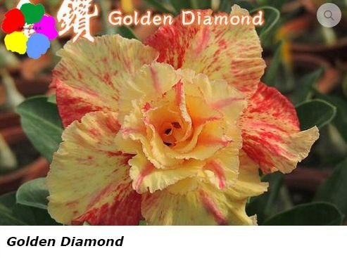 Flor Dobrada - Kit com 3 sementes - Golden Diamond - Chang Ping