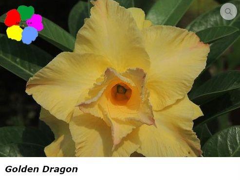 Flor Dobrada - Kit com 3 sementes - Golden Dragon - Chang Ping