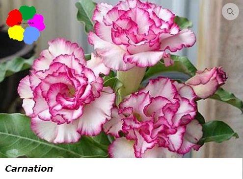 Flor Tripla - Kit com 3 sementes - Carnation - Chang Ping